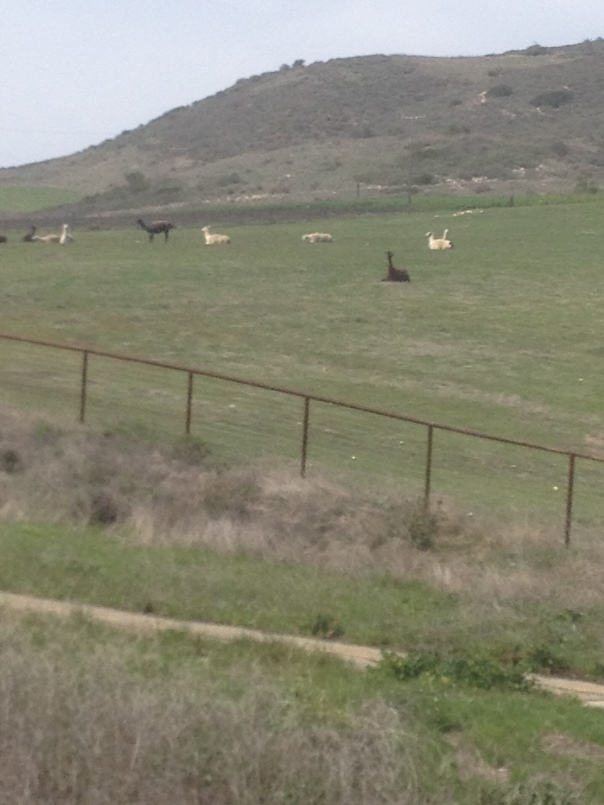 Alapacas (or llamas) along the Goleta Coastline